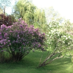 The huge lilac clump